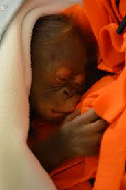 orangutan at henry vilas zoo reaches milestone zooborns
