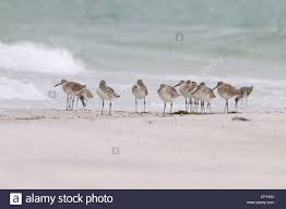 willets tringa semipalmata on the beach and in the surf of the