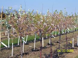 moser u0027s nursery flowering trees and shrubs page