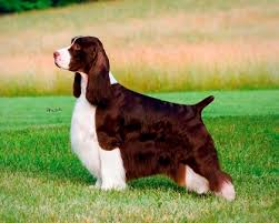 australian shepherd working vs show breeds with the most significant difference between show and