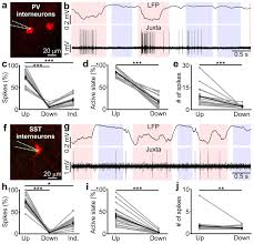 What Is Interneuron An Inhibitory Gate For State Transition In Cortex Elife
