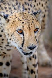 affectionate cheetahs wallpapers 49 best cheetahs images on pinterest animal pics baby cheetahs