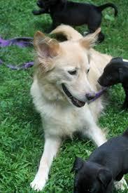 belgian sheepdog golden retriever mix happy tales 2016