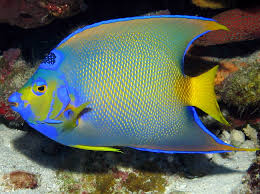 1300x970px 806183 angel fish 832 25 kb 02 06 2015 by canal6