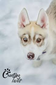 Husky 2 Ton Jack by 11 Best Cute Husky Images On Pinterest Huskies Puppies Cute