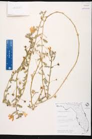 Florida Wetlands Map by Tribulus Cistoides Species Page Isb Atlas Of Florida Plants