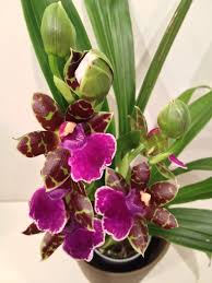 Beautiful House Plants Zygopetalum Sensation Houseplants Mainly Orchids Pinterest