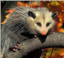 Possum In My Backyard Opossum Faq Opossum Society Of The United States