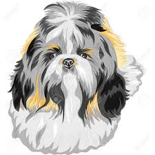 shih tzu images u0026 stock pictures royalty free shih tzu photos and