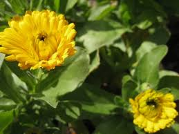 calendula flowers how and why you should grow calendula frugally sustainable