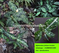 aglaonema aglaonema plants aglaonema plants suppliers and manufacturers at