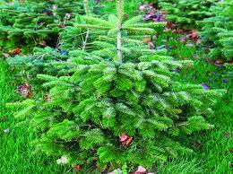 christmas trees near leeds methley estate