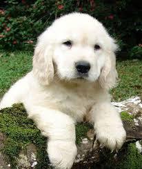 belgian sheepdog golden retriever mix the truth about english cream white golden retrievers pethelpful