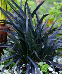 ophiopogon planiscapus nigrascens black ornamental grass