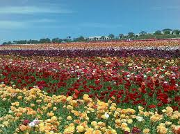 san diego flowers april showers the return of carlsbad flower fields sd