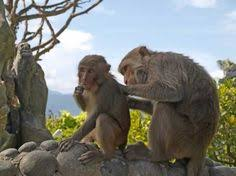 asian primate evolution livened up by an odd nosed monkey nature