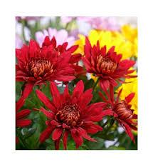 flowers in november november birth flower