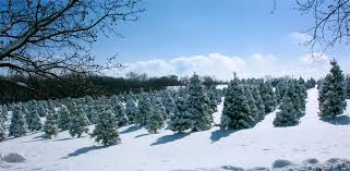 welcome to strawberry hill christmas tree farm