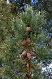 free images nature branch photo evergreen christmas tree