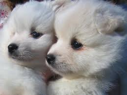 american eskimo dog varieties do you know your dog breeds american eskimo dog ez vet pet