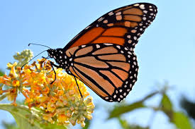 monarch butterfly conserve wildlife foundation of new jersey
