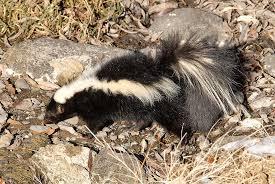 striped skunk mephitis mephitis natureworks