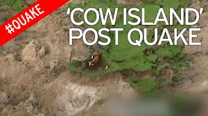 incredible footage of three cows stranded on patch of grass after