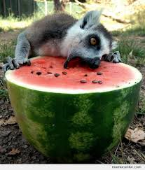 Lemur Meme - lemur eating a watermelon by ben meme center