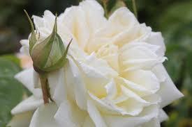 the spirit ofrural women rose corporate roses