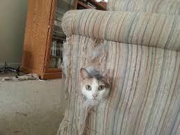 gatti divani allevamento gatto siberiano e neva masquerade come