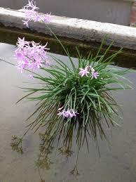 plants native to egypt van ness water garden bog plants and marginals