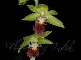 Monkey Orchid Calanthe Tricarinata Monkey Orchid