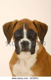 3 month boxer dog german boxer puppy 3 month stock photo royalty free image