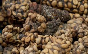 Luwak Coffee what kopi luwak is and why you should avoid it nordic coffee