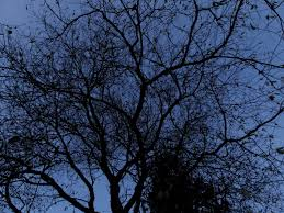 file leaf less tree in vancouver jpg wikimedia commons