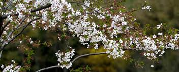 white cherry blossom gucun park is all cherry blossom white travel chinadaily cn