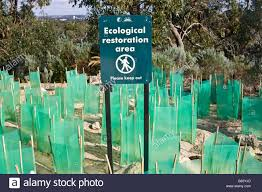 native western australian plants new native plants with seedling protectors planted in an