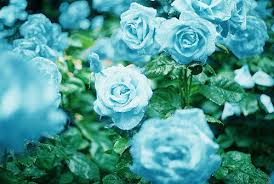 blue flower flowers images blue flower wallpaper and background photos 33624126