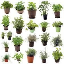 plante aromatique cuisine alimentation et cuisine alimentation fines herbes image avec herbes