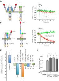 molecular anatomy of the early events in stim1 activation