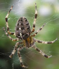 the hobo spider is common in the pacific northwest it has long