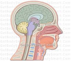 Images Of Human Anatomy And Physiology Brain Anatomy And Physiology Brain Structure And Functions Quizzes