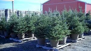 potted christmas tree the christmas tree debate real vs christmas tree
