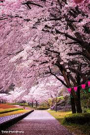 morning blossom wallpapers best 25 cherry blossom pictures ideas on pinterest cherry