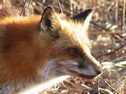 red fox the nature of delaware