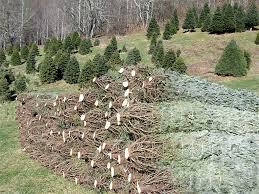 wccta boone carolina wholesale trees
