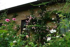 carefree beauty rose dirt simple