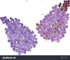 lilac flower clip art u2013 clipart free download