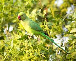 facts about indian ringneck parakeets