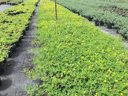 arachis glabrata golden ornamental peanut perennial peanut 1000694552 1504207000 jpg width 1000 height 1000 image supplierimages plants 1000694552